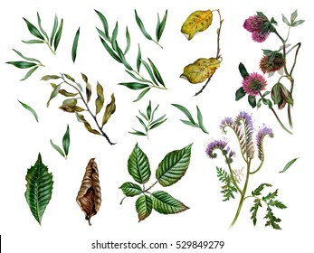 Watercolor herbs and leaves in set. Botanical illustration for packaging, invitations, design, textile. Realistic plants. Hand drawn illustration. Isolated on white.