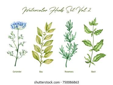 Watercolor herbs set volume 2. Hand drawn botanical illustration in high resolution. Coriander, bay, rosemary, basil.