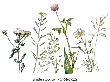 watercolor herbs and wild flowers