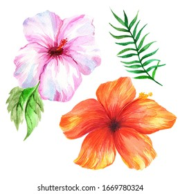 Watercolor hibiscus isolated on white background.
