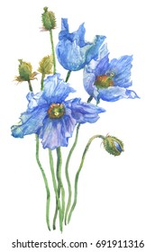 Watercolor Himalayan poppy
