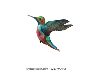 watercolor hummingbird on white background