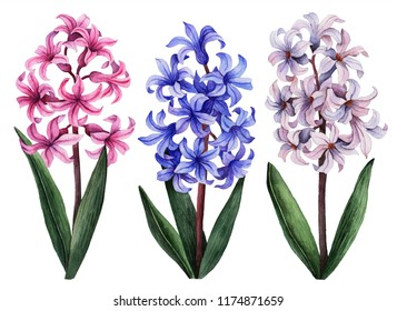 Watercolor hyacinth set, hand painted floral illustration, beautiful flowers isolated on a white background.