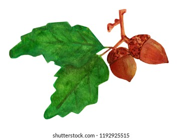 A watercolor illustration of acorns with leaves.