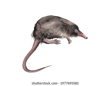 Watercolor illustration.  Baby desman, shrew isolated on white background.  For postcards, holidays