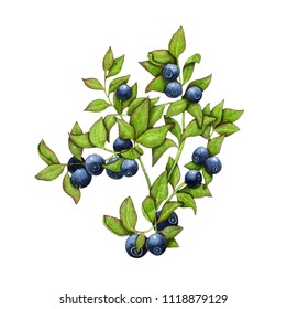 Watercolor illustration of a bilberry berry with berries