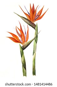 Watercolor illustration bird of paradise flowers on a white background