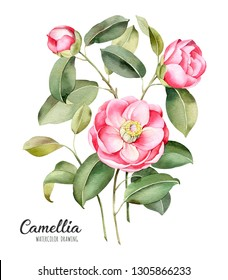 Watercolor illustration of blooming branches of the Camellia. On white isolated background.