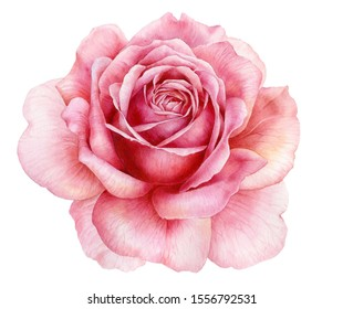 Watercolor illustration. Blooming pink rose on a white background. Botanical illustration.