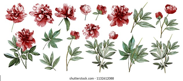 Watercolor illustration. Botanical collection of wild and garden plants. Set: leaves flowers, branches, herbs and other natural elements. All drawings isolated on white background. Maroon peonies.