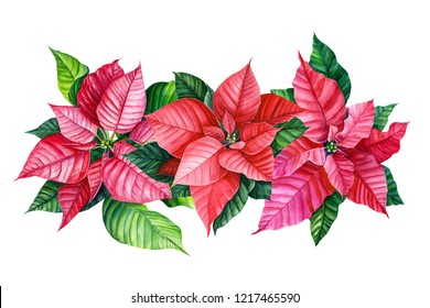 watercolor illustration, botanical painting, christmas plant, bouquet of poinsettia flower on an isolated white background.