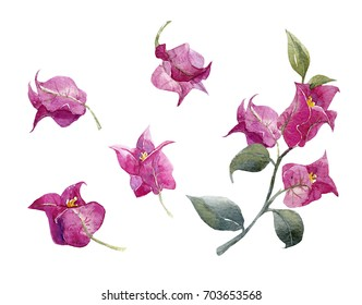 Watercolor illustration of a bougainvillea flower, a set of isolated purple flowers, a branch with leaves and flowers