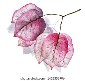 Watercolor illustration. Bougainvillea isolated on a white background.