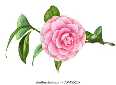Watercolor illustration of branch of the Japanese Camellia with flower