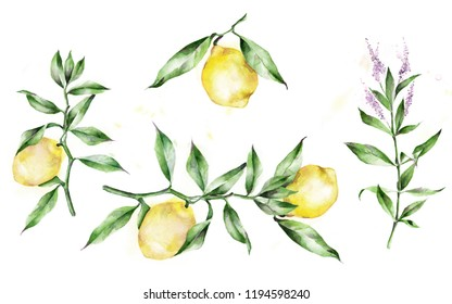 Watercolor illustration. The branches of the lemon tree. Lemons, leaves.