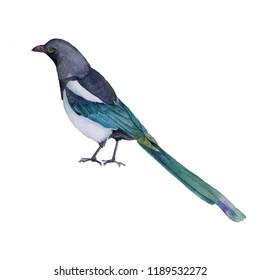 Watercolor illustration. Bright magpie bird on a white background.