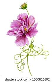 Watercolor illustration of a bright pink flower on a white background. Cosmea flower on the stem.