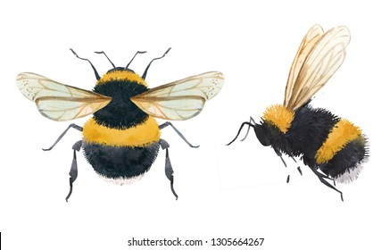 Watercolor illustration of a bumblebee, bee on a white background