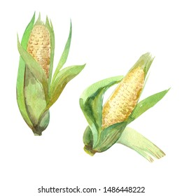 Watercolor illustration, corn vegetables, on isolated white background. Autumn collection.