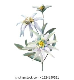 Watercolor illustration. Edelweiss. Isolated on white background. Good for wedding design, printing on paper, fabric and other materials.