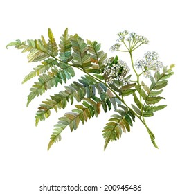 Watercolor illustration of fern and wild aegopodium white flowers. Isolated image on white background
