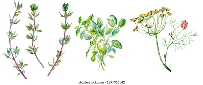 watercolor illustration of flavouring herbs Isolated On White Background
