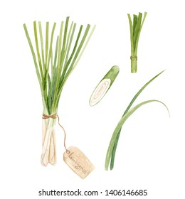 Watercolor illustration of fresh lemongrass. Culinary herbs isolated on white background
