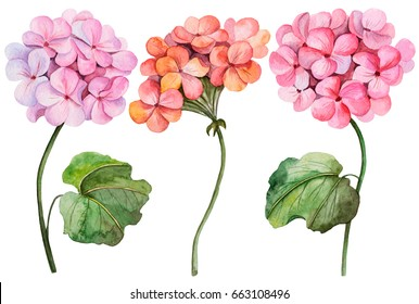 Watercolor illustration of geranium, hand drawn painting, set of flowers isolated on white background.