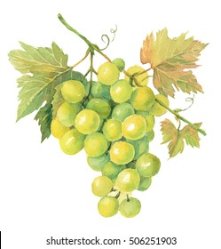 Watercolor illustration Green grapes isolated in white
