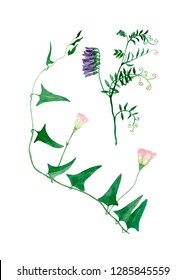 Watercolor illustration with green  wildflowers, greeting card. Realistic botanical drawing of a tufted vetch and field bindweed on white background.
