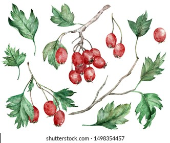 Watercolor illustration of hawthorn - shrub or small tree of the genus Crataegus, its red berries and green leaves on branches. Botanical art. Hand-drawn clipart.