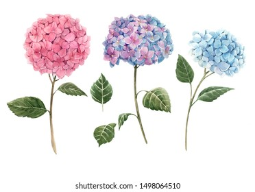 Watercolor illustration of hydrangea flowers on a white background.