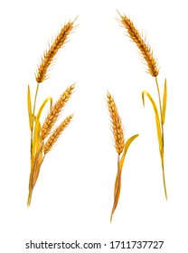 Watercolor illustration. Image of spikelets of ripe wheat. Two types of ears and a small bouquet of them.