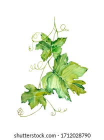 Watercolor illustration. Image of a vine. Green grape leaves on a branch.