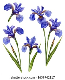 Watercolor illustration of iris is an incredibly beautiful and fragrant flowers