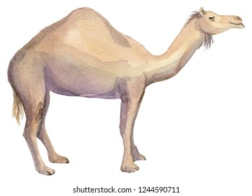 Watercolor illustration of an isolated camel on a white background. Painting of an African Camel or Arabian Camel.