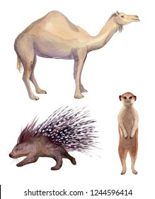 Watercolor illustration of isolated meerkat, camel and porcupine on white background. Painting of an African animals set - camel, suricate, porcupine.