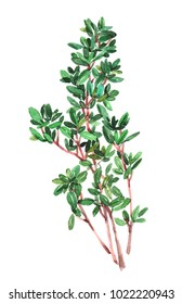 Thymeplant. Watercolor illustration isolated on white background.