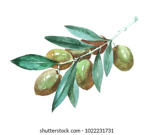 Oliveplant. Watercolor illustration isolated on white background.
