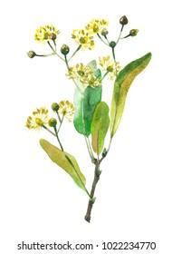 Lindenplant. Watercolor illustration isolated on white background.