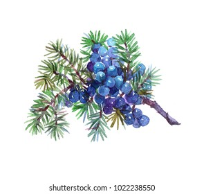 Juniperplant. Watercolor illustration isolated on white background.