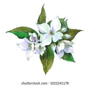 Jasmineplant. Watercolor illustration isolated on white background.