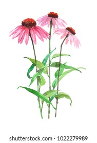 Echinacea plant. Watercolor illustration isolated on white background.