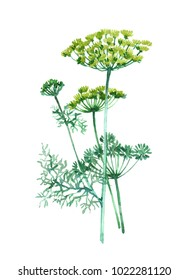 Dillplant. Watercolor illustration isolated on white background.