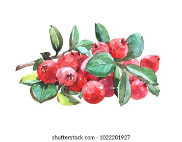 Cranberryplant. Watercolor illustration isolated on white background.