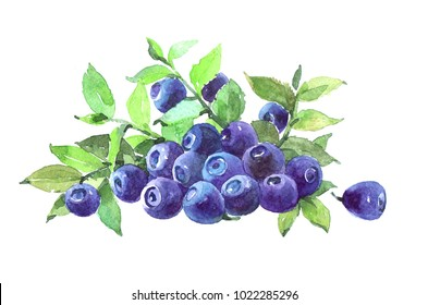Blueberriesplant. Watercolor illustration isolated on white background.
