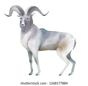 Watercolor illustration isolated on white background. A gray mountain sheep stands. Splashes sketch of wild forest north animals