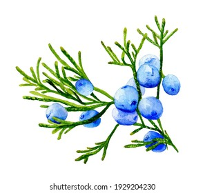 Watercolor illustration. Juniper branch with blue berries.