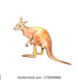 Watercolor illustration of a kangaroo. Realistic Kangaroo. Animals of Australia. Isolated on white background