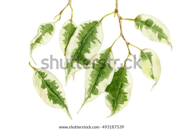Watercolor illustration leavs of ficus Benjamin isolated on white